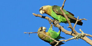 Cape parrots in Hogsback