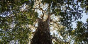 THe magic of hogsback- our old trees