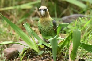 Cape parrot in Hogsback