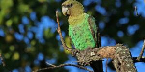 Cape parrots by Rodney Clifton Biljon
