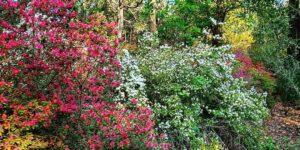 Azaleas in Hogsback