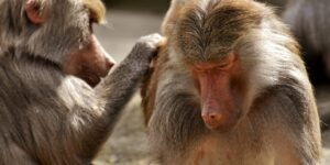 Baboons in Hogsback